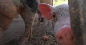 "Denmark: Three Deaths from Drug-Resistant ""Pig MRSA"""