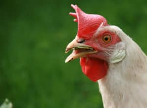 Chicken Company Perdue Takes Big Steps to Reduce Antibiotic Use